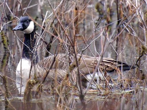 broadmoor canadian goose