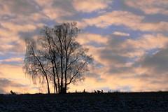 Weeping birch-tree (:Linda:) Tags: sky cloud tree silhouette germany village wolke thuringia baretree cloudysky birke birchtree wolkig fleecyclouds schfchenwolken fleecycloud schfchenwolke brden bewlkterhimmel weepingbirchtree trauerbirke birkenbaum nackterbaum