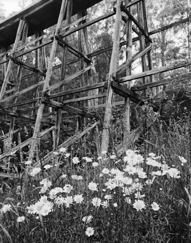 Trestle Bridge Daisies