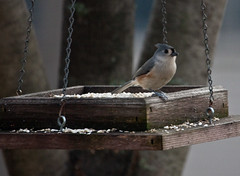 Tufted Titmouse (arnmt) Tags: titmouse crested