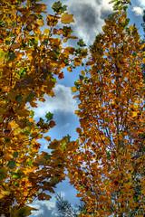 Yellow & Blue (fs999) Tags: blue trees sky cloud leaves yellow jaune pentax wolke bleu ciel arbres sdm nuage feuilles aficionados k7 artcafe vob dastar newk ashotadayorso justpentax topqualityimage flickrlovers da55 topqualityimageonly fs999 pentaxart hairygitselite pentaxda55mmf14sdm pentaxk7