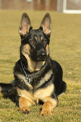 Keegan (GabbyDiTullio) Tags: dog black puppy fun shepherd tan canine down german keegan stay gsd