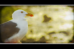 California (ALFONSO SÁNCHEZ) Tags: bird ave malecon baja bajacaliforniasur gaviota lapaz bcs californication lapazbajacaliforniasur malecondelapaz alfonsosanchez