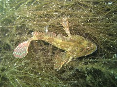 sea_scorpion_trefor (nwsac) Tags: pier trefor