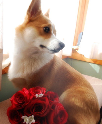 My handsome valentine pup