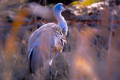 Consecrated (melcwire) Tags: bird blurry purple feathers sigma foveon x3 18200mm sd14 georgecreifelbirdsanctuary