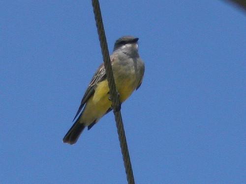 Cassin's Kingbird 2-20100215