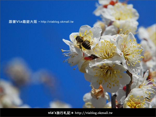 【via關西冬遊記】大阪城天守閣!冬季限定:梅園梅花盛開15