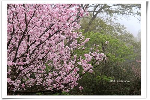 陽明山|吉野櫻