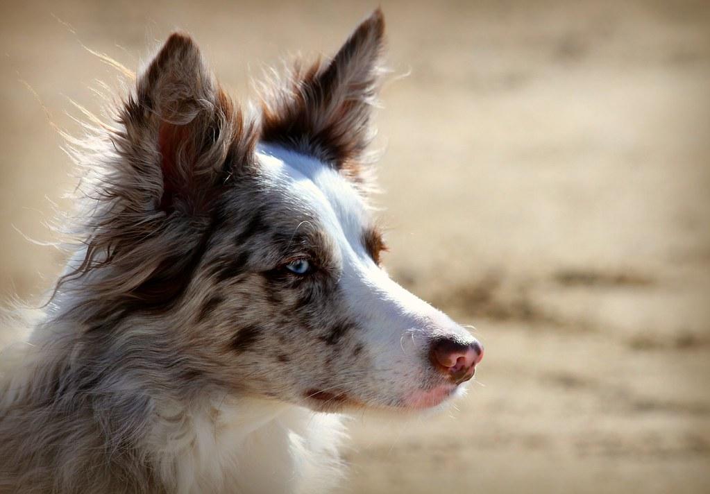 Bark Ranger Dog