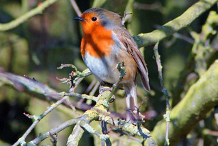 Robin in The Shadows