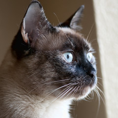 Blue Eyes (Apogee Photography) Tags: blue cats eye cat kitty siamese gatos gato kitties