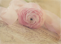 Petals & ribbons (ImagesByClaire) Tags: old pink flower ruffles petals soft pretty antique vintagepostcard ribbon swirls delicate ranuncula project365 happyfridaytoyou