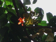 Castanospermum Australe (Indianature SJ) Tags: india nature garden bombay maharashtra fabaceae mumbai botanicgarden victoriagardens castanospermumaustrale byculla castanospermum indianature ranibagh snonymous australianchestnuttree
