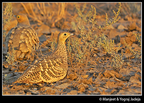 Sandgrouse pair