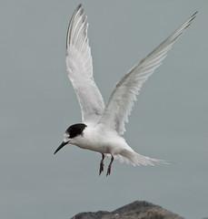 20091111_7059_1D3-600 White-fronted Tern (johnstewartnz) Tags: bird birds canon tern bif birdinflight 600mm sternastriata