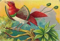 oiseauchromos 8