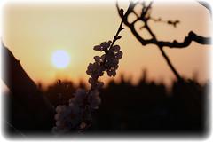 Tramonto di Primavera (Pachibro Portfolio) Tags: flowers sunset sun primavera fleurs canon eos leaf petals spring tramonto foglia sole fiore petali springtime 400d canoneos400d scattifotografici pasqualinobrodella pachibroportfolio pachibro