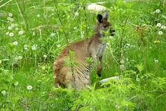 Brookfield Zoo (Tiger_Jack) Tags: brookfield animals kangaroos hganimalsonly brookfieldzoo zoo zoos itsazoooutthere zoosofnorthamerica