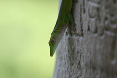 "Apr08_ DR Trip_ Bot Garden_ green headed gecko • <a style=""font-size:0.8em;"" href=""http://www.flickr.com/photos/30765416@N06/4520294067/"" target=""_blank"">View on Flickr</a>"