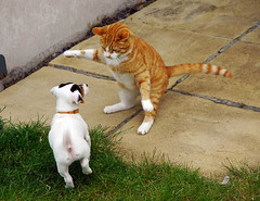 Cat'n'Dog (Richie568) Tags: dog pet cats puppy jack russel