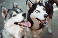 (madzuka) Tags: film 35mm peace huskies kiba siberianhuskies