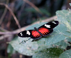Laparus doris, Dot-bordered heliconia, Panam (shyzaboy) Tags: red black butterfly bug insect rainforest panama doris panam centralamerica dorislongwing soberana heliconius repblicadepanam republicofpanama heliconiusdoris soberania soberanianationalpark parquenacionalsoberana rayedlongwing laparusdoris soberaniapark papiliodoris papilioquirina papilioamathusia nereisdelila migonitiscrenis crenisbrylle heliconiadorimena heliconiusmars dotborderedheliconia