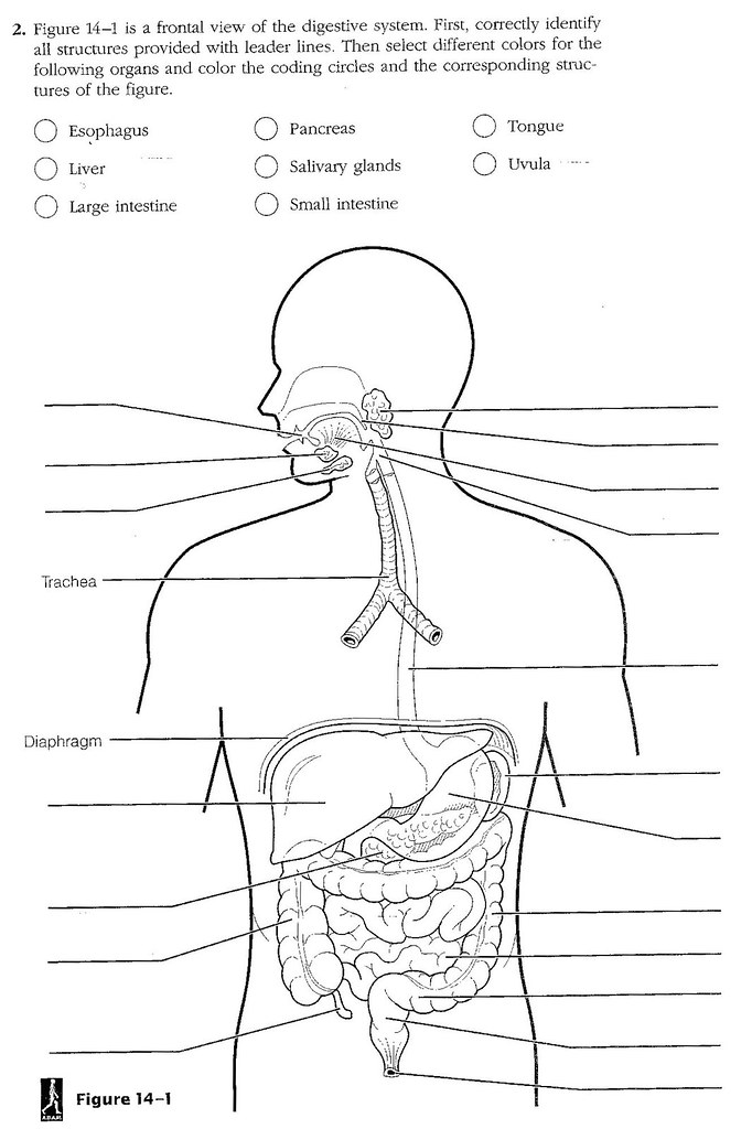 Digestive System Labeling Worksheet - Kidz Activities