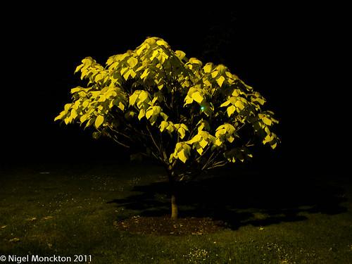 1000/465: 31 May 2011: Lamplit Tree