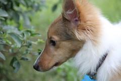 IMG_2180 (presidentreagan1796) Tags: dog cute beautiful puppy outside nashville sheltie cutie bullet