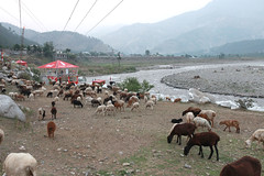 Balakot (king.arm) Tags: pakistan mountain green beautiful canon river landscape interesting sheep shepherd hill north karakoram himalaya kaghan naran balakot saiful malook