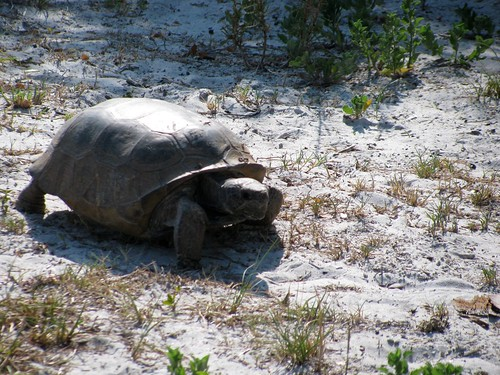 IMG_5624-Bowditch-gopher-tortoise