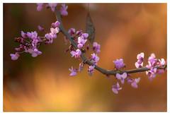 Flowers on a Tree, Los Angeles Arboretum, Nikon D800E and 28-300 (John Truong Pictures) Tags: flowers losangeles bokeh arboretum wildflower shallowdof 28300 losangelesarboretum d800e nikond800e