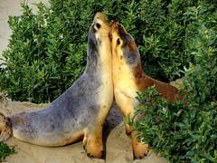 SEALED with a KISS.......... (Lani Elliott) Tags: animal sealion australiansealions kangarooisland beach sand sealioncolony vegetation nature naturephotography