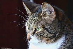Concentration (Kasrielle) Tags: portrait cats home closeup cat kitties stare furkids