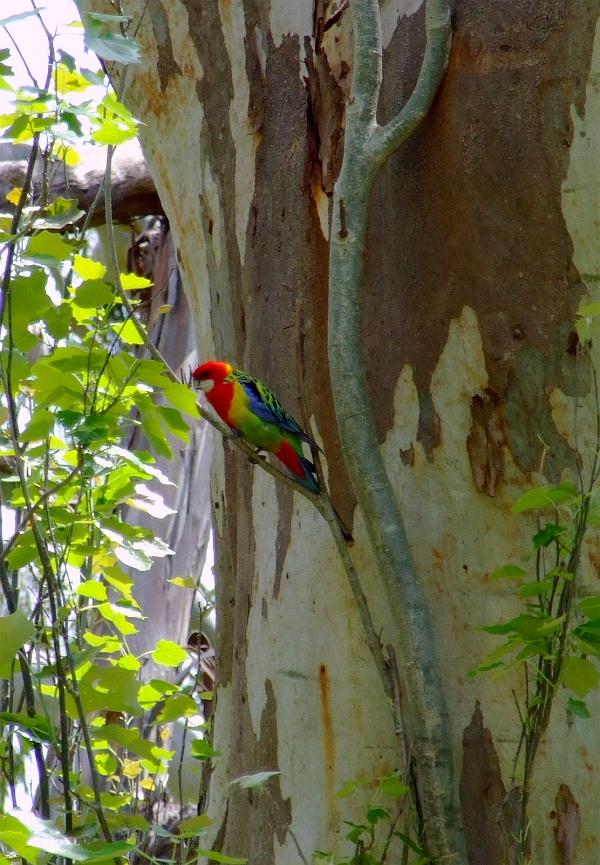 eastern rosella parrot 01