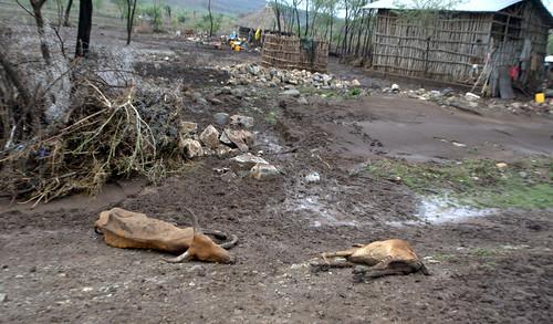 Ganado muerto. Camino de Dessie (Etiopía)