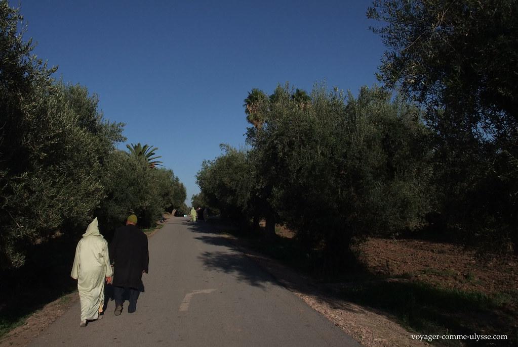 Promenade dans l'oliveraie