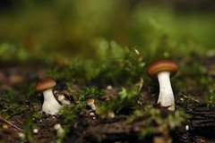 micro champis (didier57) Tags: macro mushrooms nikond70 pilze lorraine metz champignons moselle woippy macropholies 60mmmacronikkor