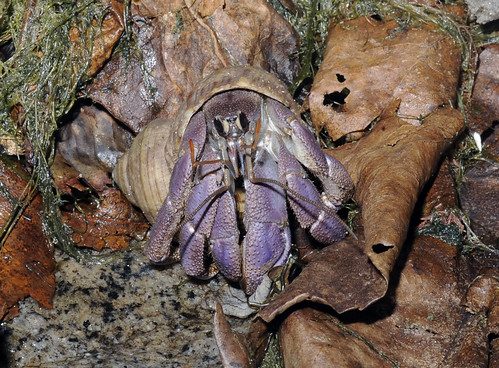 Land hermit crab (Coenobita sp.)