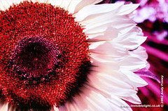 Sunflower (Andy Finney) Tags: flower color colour infrared infraredfilm