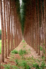 Eucalypt plantation in the cerrado region (philippedebled) Tags: eucalypt cerrado arvore eucaliptus colorphotoaward bestofmywinners theoriginalgoldseal