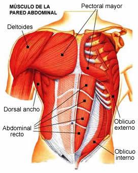Ilustración del torso