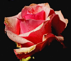 Cropped Rose (annicariad) Tags: pink flower rose wales cymru soe hooray abigfave anawesomeshot annicariad photoshopcs4