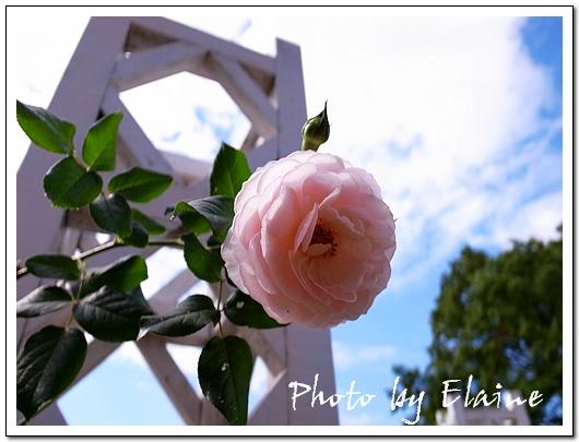 玫瑰也開得嬌豔