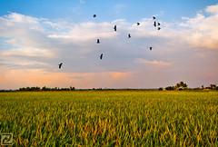 A lovely evening @ a rice field (tlchua99) Tags: sunset field evening rice malaysia fujifilm padi selangor s100fs tanjongkarang