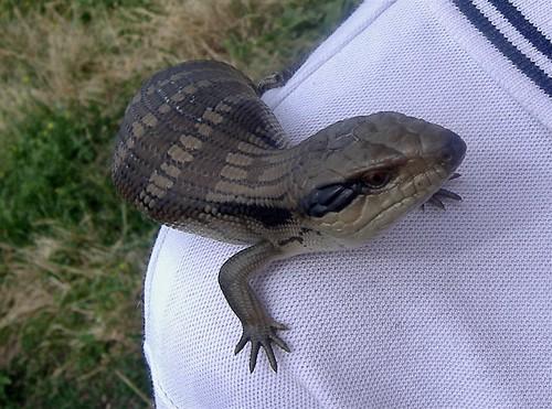 lizardy