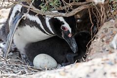 baudchon-baluchon-pinguins-4