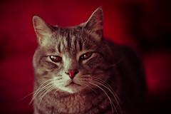 attitude (jimmy_racoon) Tags: macro cat canon feline attitude sparky xsi 50mmf18 niftyfifty canonxsi