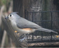 Tufted Titmouse (Mary Alice Bowles) Tags: county by scott alice mary indiana titmouse tufted bowles ias